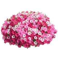 hanging basket plants for sun full sun annuals garden plants u0026 flowers the home depot