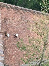 Brick Wall Meme - goats climbing a brick wall imglulz funny pictures meme lol
