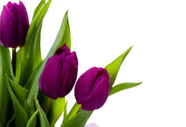tulips flowers image result for tulips beautiful blooms purple