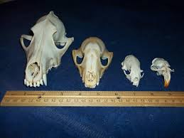 Crafters Supply 4 Real Animal Bone Skull Parts Taxidermy Craft Supply Coyote