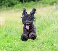 affenpinscher coat type labradoodle dog breed information pictures characteristics