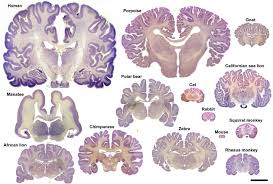 The Anatomy Of The Human Brain Frontiers The Evolution Of The Brain The Human Nature Of