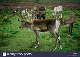 herd of reindeer cairngorm reindeer centre glenmore forest park