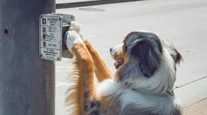 Dog Going Blind What To Do Service Dogs Help People With More Than Blindness