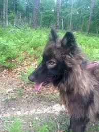 belgian shepherd howling kira howling woods farm