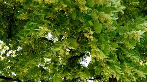 linden flower flower tea benefits