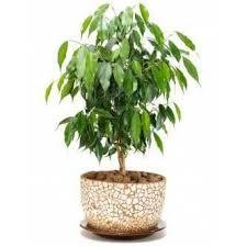weeping fig tree plant ficus benjamina
