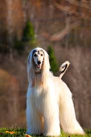 afghan hound sale afghan hound puppies for sale in illinois