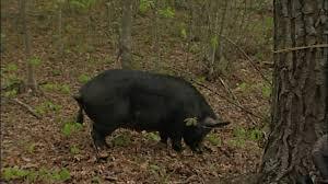 Tennessee wild animals images Wild sidetv wild hogs jpg