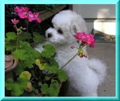 bichon frise cute gemstone bichons puppy adoption