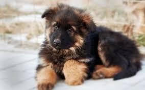 animali da cortile in regalo cuccioli pastore tedesco in regalo cuccioli cani
