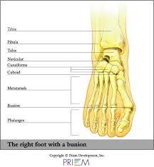 Foot Tendons Anatomy Bunionette Hallux Great Toe Phalanges Metatarsal Tarsals Foot