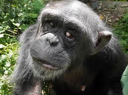 Illnesses That Cause Blindness Meet Kanako The 24 Year Old Chimp With U0027down Syndrome U0027 Daily