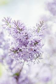 purple lilac 843 best purple passion images on pinterest beautiful flowers