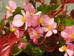 begonia flower begonia flowers pink free photo on pixabay