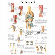 Right Knee Anatomy Anatomical Charts And Posters Anatomy Charts Arm And Leg