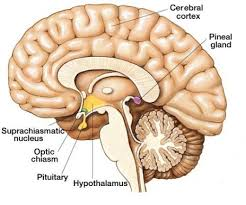 Blood Brain Barrier Anatomy Notice The Pineal Gland Is Located Outside The Blood Brain Barrier