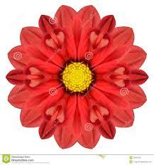 100 red dahlia flower single red dahlia flower wall art