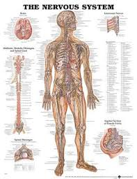 Anatomy Of Body Muscles Anatomy Posters At Allposters Com
