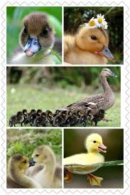 41 best duck images on pinterest baby ducks animals and