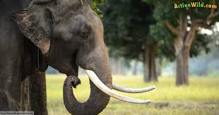 indian elephant facts kids u0026 adults pictures information u0026 video