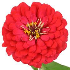 zinnia flower of coral pink zinnia