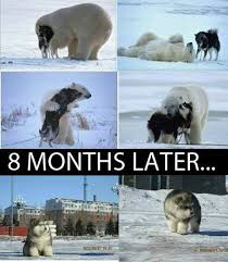 Wolf Memes - wolf and polarbear