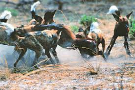 safari ltd african wild dog kruger wildlife facts big predators african wild dog