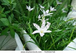Rain Lily Rain Lily Stock Images Royalty Free Images U0026 Vectors Shutterstock