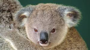 koala 1080p windows 1920x1080 download awesome collection of