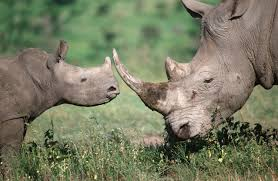 rhino poaching deaths continue to increase in south africa wwf