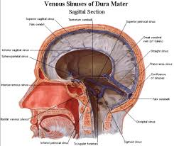 pictures diagram of brain sinuses human anatomy diagram