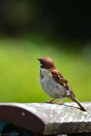 Sparrow by 89 Best Wróbel Sparrow Images On Pinterest Sparrows Beautiful