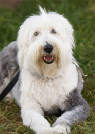 Dogs For The Blind Jobs Old English Sheepdog Dog Breed Information Pictures