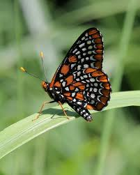 baltimore checkerspot butterfly with wings folded photograph by