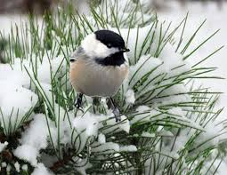 watercolor tutorial chickadee 532 best chickadees images on pinterest little birds beautiful