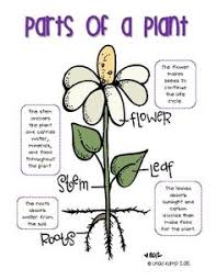 plant life cycle flash cards plant life cycles life cycles and