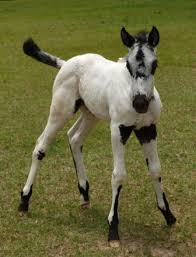appaloosa fohlen tiere pinterest appaloosa horse and dark spots