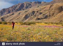 desert sunflower stock photos u0026 desert sunflower stock images alamy