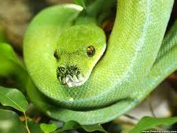 a green snake wallpapers smooth green snake hd wallpapers wallpapersin4k net
