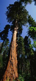 hyperion tree the tallest tree on earth 115 5 m click to see