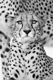 cheetah in black u0026 white copyright by www pfotograf info
