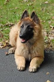 belgian sheepdog groenendael sale best 25 belgian shepherd ideas only on pinterest belgian dog