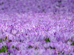 100 purple flower plant butterfly bush shrubs trees u0026