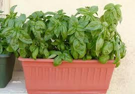 basilico in vaso malattie basilico ocimum basilicum lamiaceae come curare e coltivare