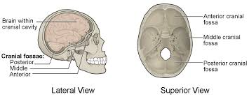 Bones That Form The Cranium The Skull Anatomy And Physiology I