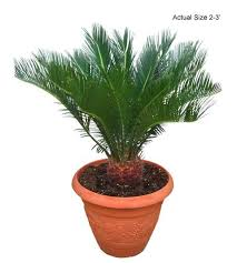 sago palm tree cycas revoluta buy at the palm store call 1 888