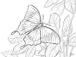 ulysses or blue mountain butterfly coloring page free printable