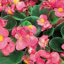 begonia flower begonia ambassador pink f1 harris seeds