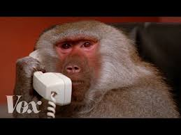Baboon Meme - getty images baboons know your meme